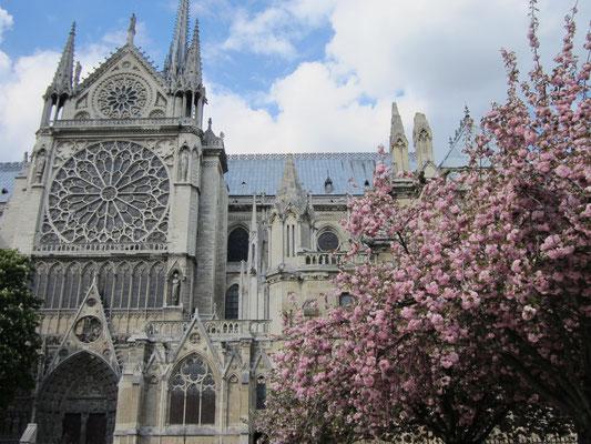 ノートルダム大聖堂と桜