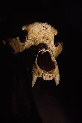 L'ours des cavernes, Centre européen de recherches préhistoriques de Tautavel