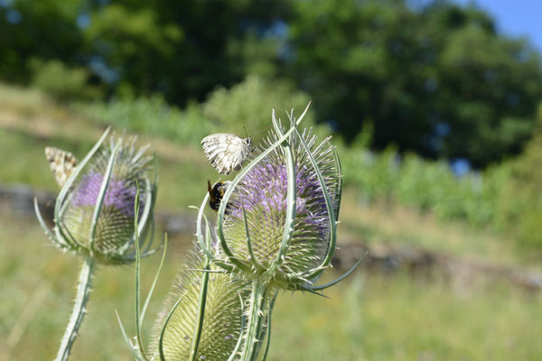 Wilde Karde umschwärmt von Schmetterlingen und Hummeln