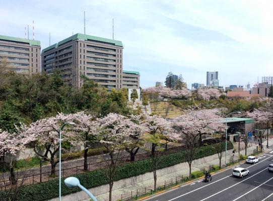 防衛省の桜 借景に感謝です