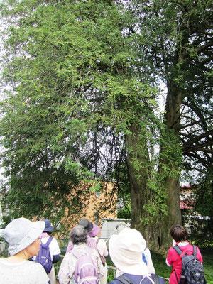 東昌寺にある巨木「マルミガヤ (丸実榧)」
