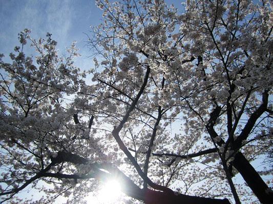 木漏れ日と桜