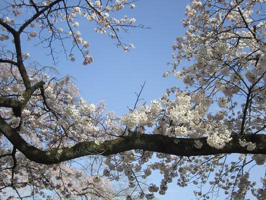 見事な枝と春空