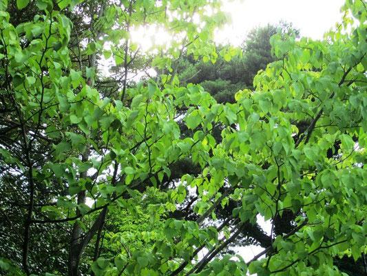 ハンカチの樹 春にティッシュを枝にフワッと載せた様な白い綺麗な花が咲くそうです