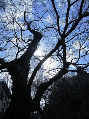 樹齢310年にもなる桜の大木
