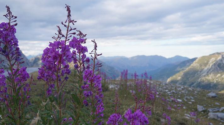 Bergflora Maira Stura