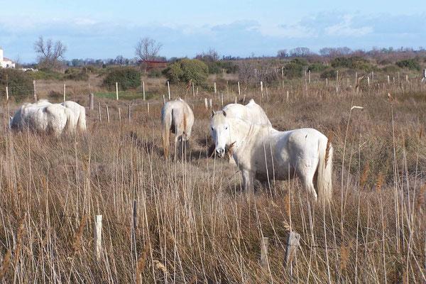 Die bekannten Pferde der Carmargue
