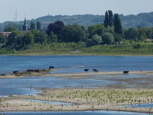 Kühe in der Maas