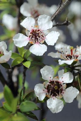 Fleurs de Manuka (île sud)