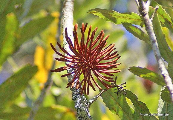 Fleur de Rewarewa