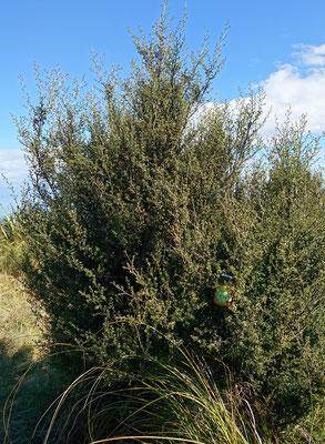 Manuka sous sa forme buisson