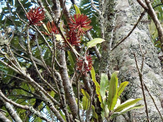 Fleurs de Rewarewa