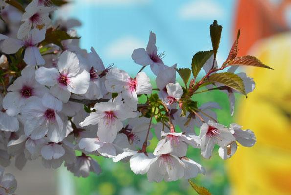 Cerisiers du Japon à Genève