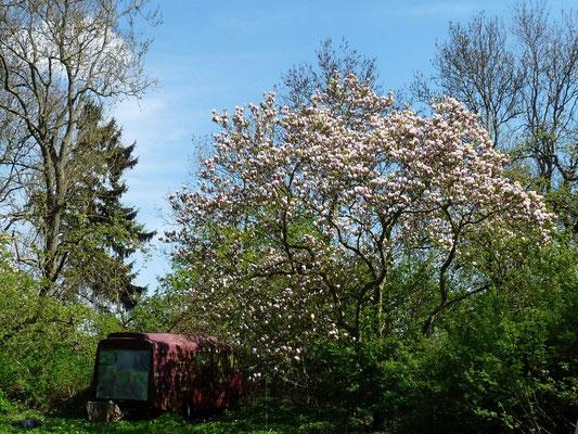 Unsere schöne große Magnolie in voller Blüte.