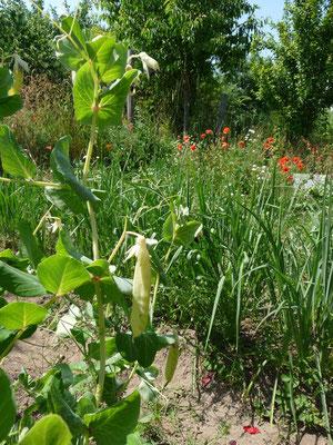 Ein Blick in meinen Gemüsegarten anfang Juli.