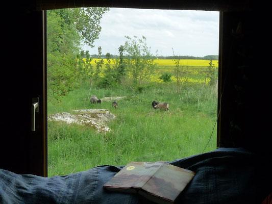 Blick aus einem Bauwagenfenster: Rapsfeld und Pommernschafe.