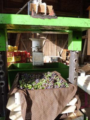 ... sogar Trauben zur Weingärung.