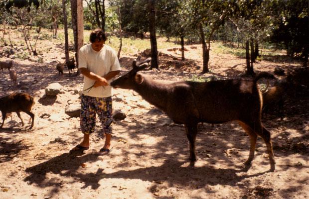 Feeding a deer in Thailand, 1993.