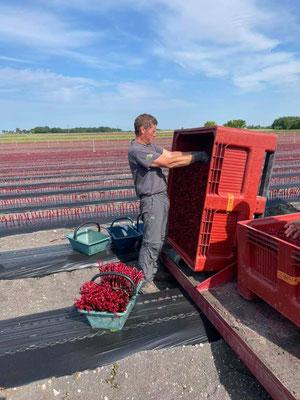 Préparation des plants pour la mise en terre des plants de vigne