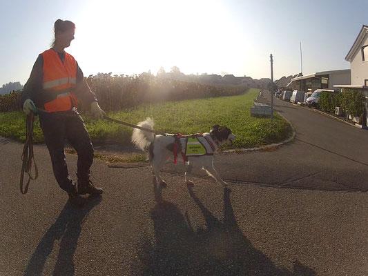 Duca mit Zampa Trekkinggeschirr beim Mantrailen