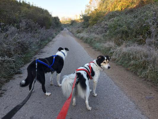 Lara und Duca mit Zampa Zuggeschirr Speedline