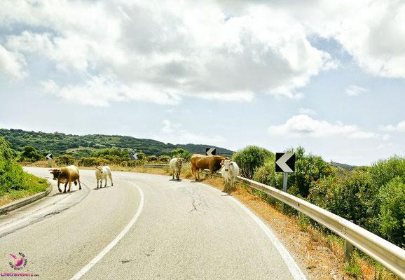 Kühe auf Sardinien