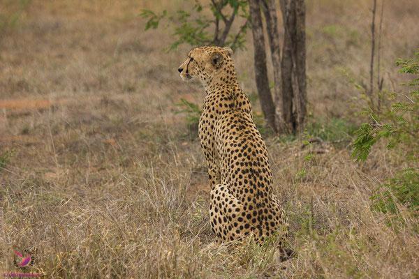 Geparden im Krüger Nationalpark