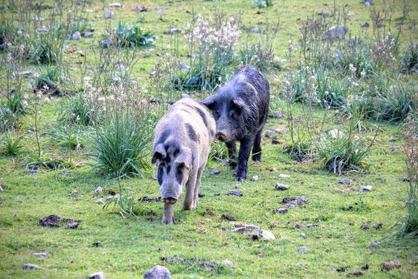Wildschweine in den Bergen von Sardinien