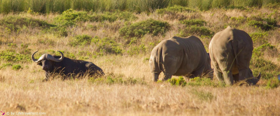 Südafrika Safari - Nashorn und Büffel