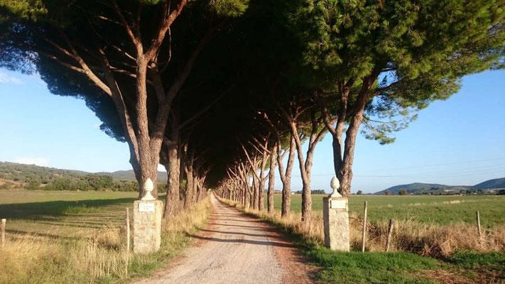 Allee in der Toskana