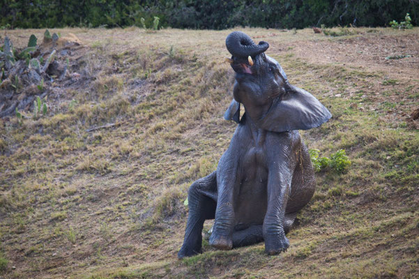 Elefanten beim Baden im Kariega Private Game Reserve