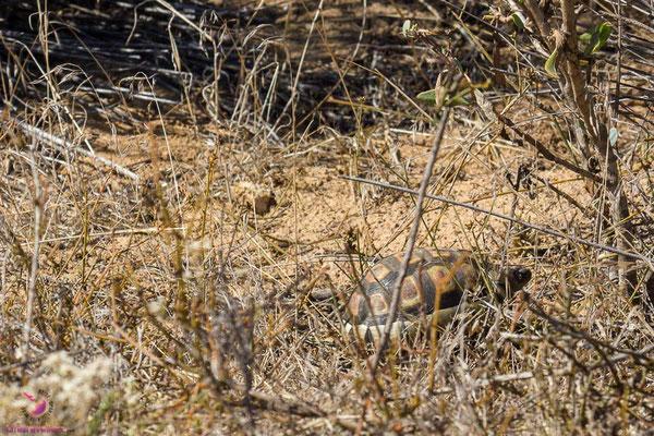 Schildkröte in Langebaan Südafrika