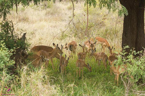 Impala im Krüger Nationalpark