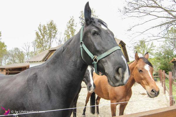 Pferde im Reitstall in der VilaVita Pannonia
