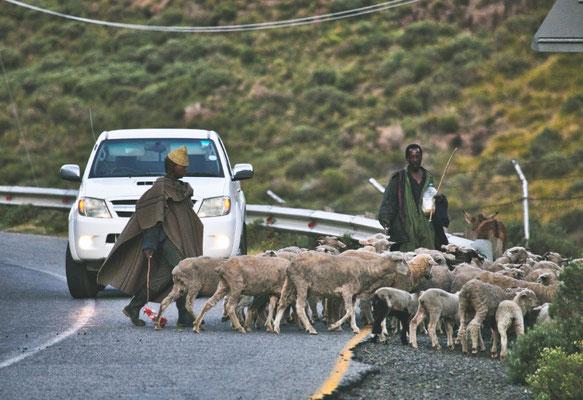 4x4 Roadtrip durch Südafrika und Lesotho - Schafherde