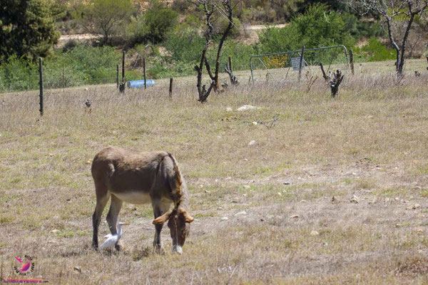 Esel im Pat Busch Mountain Reserve