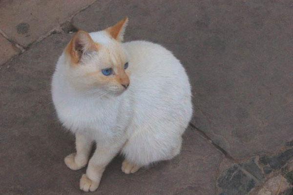 weiße KAtze mit blauen Augen in Kuba