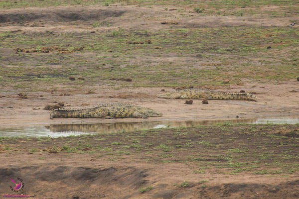 Krokodile im Krüger Nationalpark