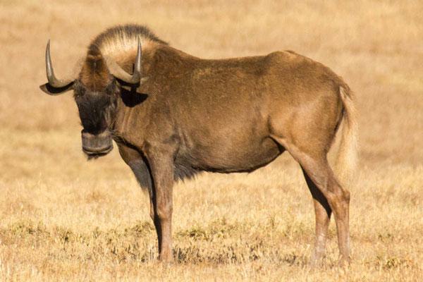 Wildebeast auf Safari