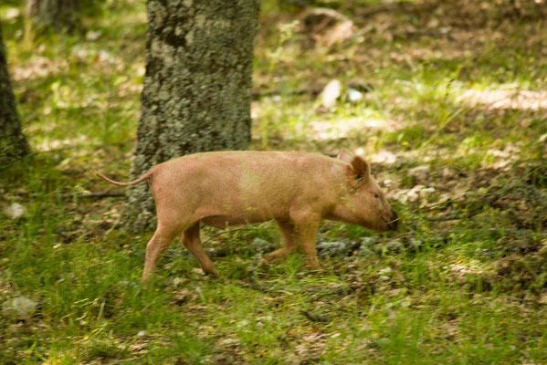 Schwein in Kalabrien Italien