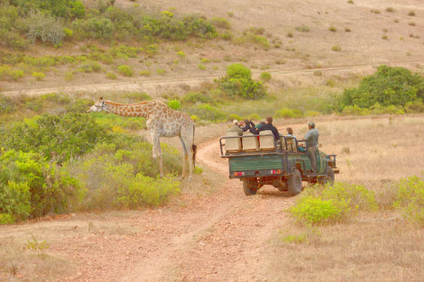 Giraffe auf Safari in Südafrika