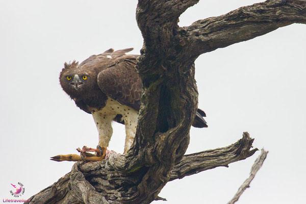 Adler im Krüger Nationalpark