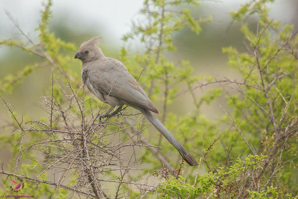 Vogel im Krüger Nationalpark