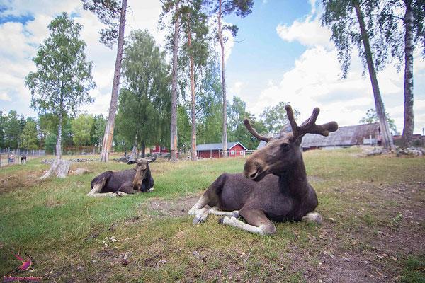 Elche im Elinge Elchpark in Schweden