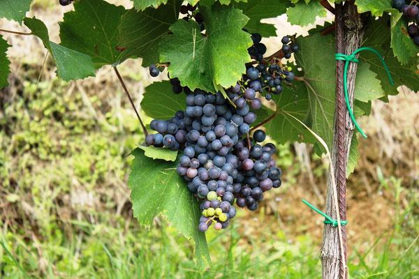 Weintrauben in der Steiermark