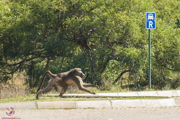 Pavian im Krüger Nationalpark
