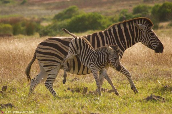 Südafrika Safari - Zebras