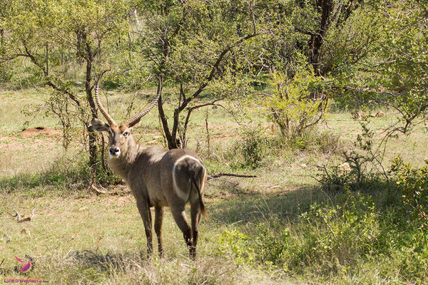 Waterbuck im Krüger Nationalpark