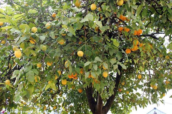 Orangen-Zitronenbaum in Andalusien