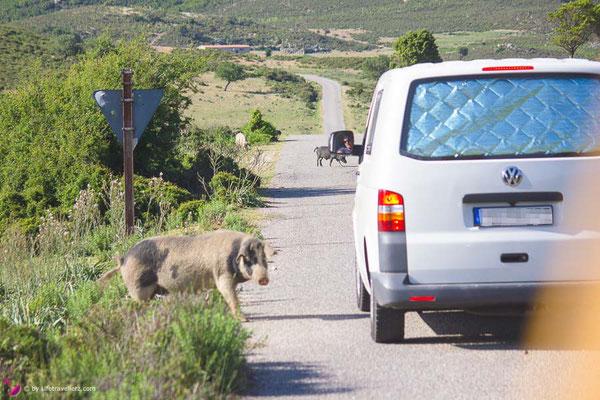 VW Bus T5 mit Schwein, VW Bus mieten oder VW Bus kaufen by Lifetravellerz
